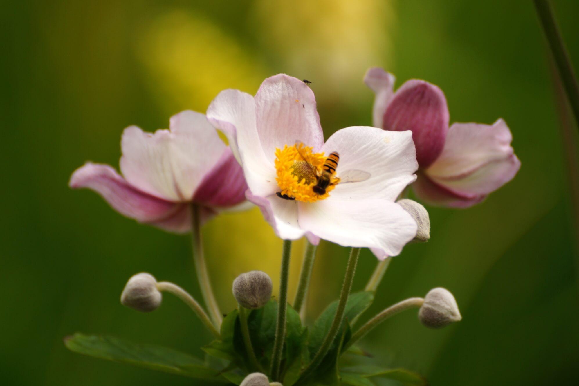 Anemone x hybrida, A. japonica – zawilec mieszańcowy
