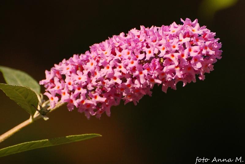 Buddleia davidii - budleja Davida, motyli krzew