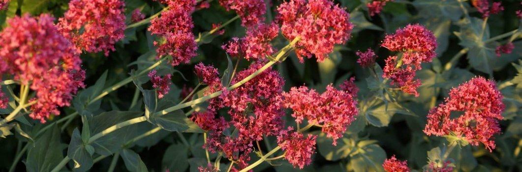 Centranthus ruber, Kentranthus ruber –  ostrogowiec czerwony