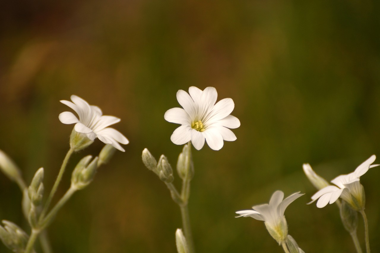 Cerastium biebersteinii, C.repens –  rogownica Biebersteina