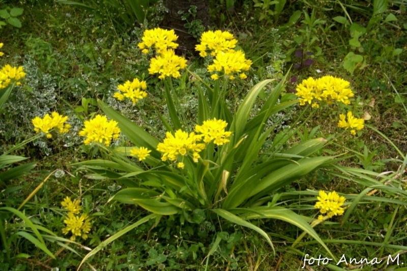 Allium moly - czosnek południowy, czosnek złocisty