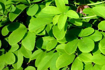 Akebia quinnata – akebia pięciolistkowa