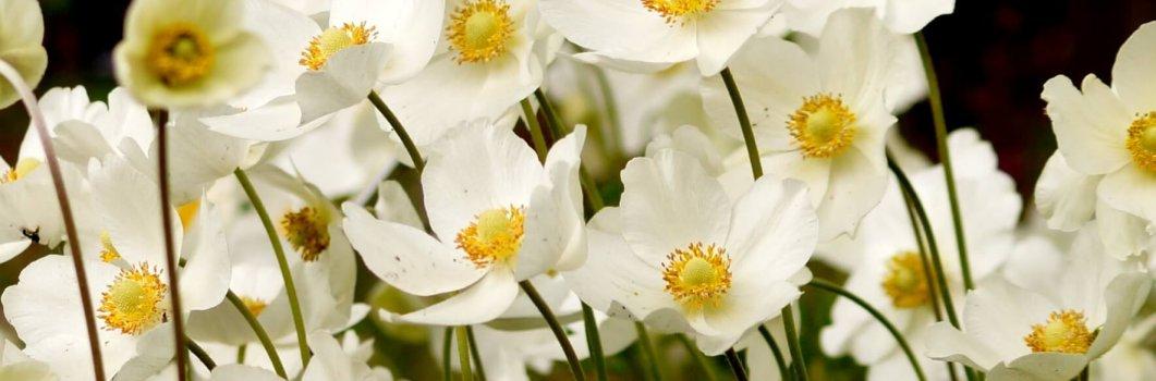 Anemone sylvestris – zawilec wielkokwiatowy