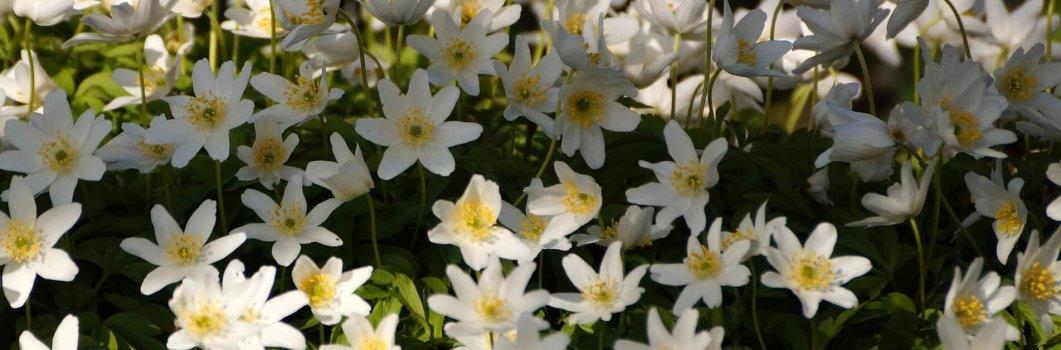 Anemone nemorosa – zawilec gajowy, niestrętek