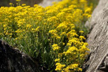 Alyssum saxatile, A. arduini, Aurinia saxatilis – smagliczka skalna