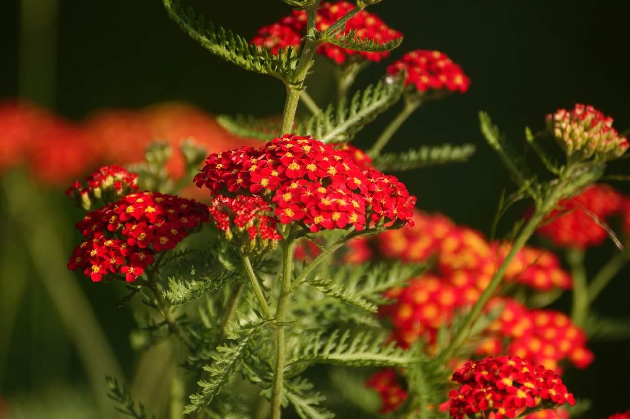 Achillea millefolium – krwawnik pospolity