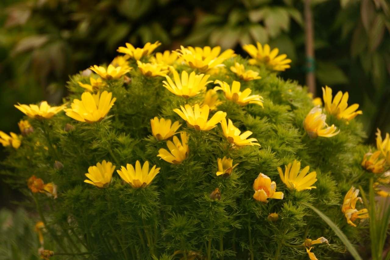 Adonis vernalis – miłek wiosenny