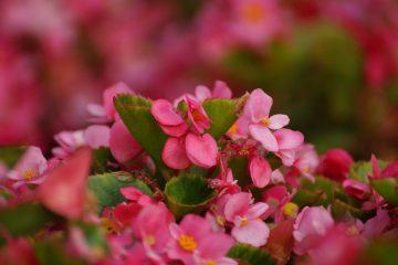 Begonia semperflorens – begonia stale kwitnąca