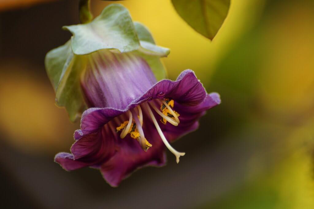 Cobaea scandens – kobea pnąca