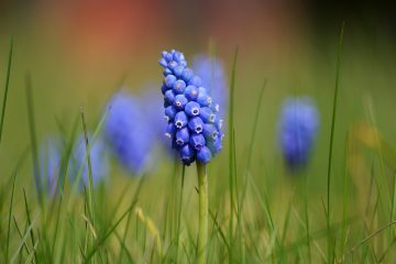 Muscari botryoides – szafirek drobnokwiatowy, szafirek groniasty