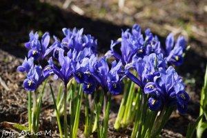 Iris reticulata - kosaciec żyłkowany