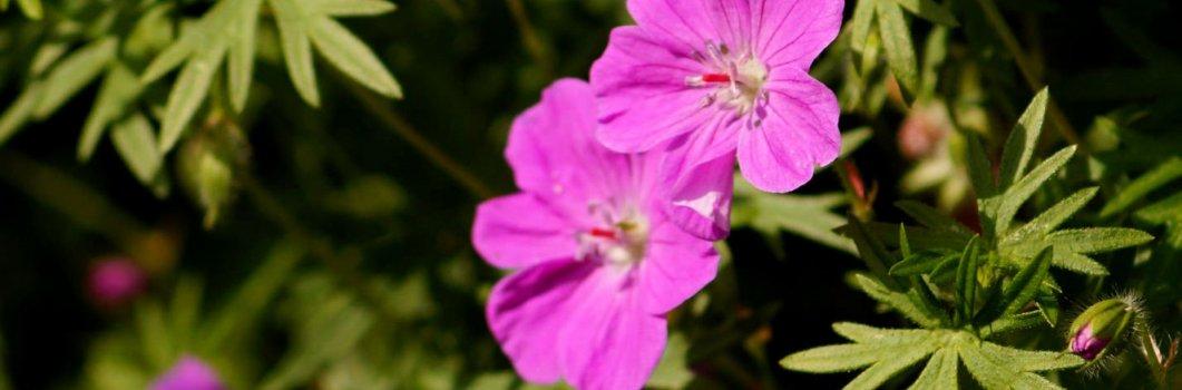 Geranium sanguineum – bodziszek czerwony