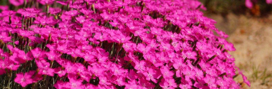 Dianthus gratianopolitanus, Dianthus caesius – goździk siny, goździk majowy