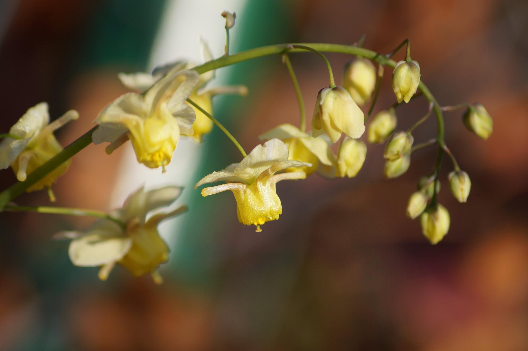 Epimedium grandiflorum, Epimedium macranthum – epimedium wielkokwiatowe