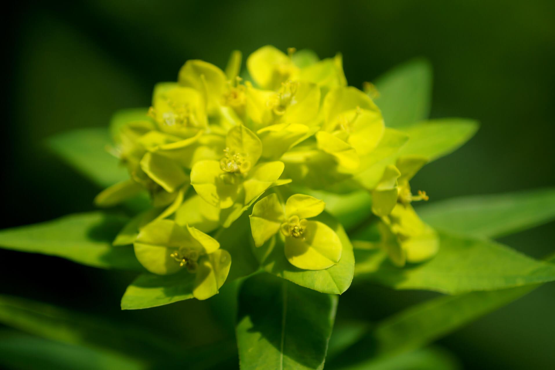 Euphorbia polychroma, Euphorbia epithymoides – wilczomlecz pstry, złocisty