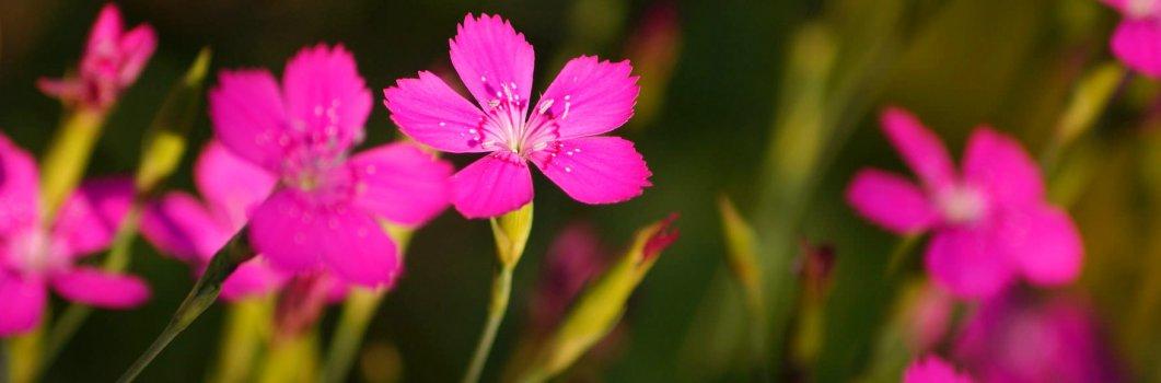 Dianthus deltoides – goździk kropkowany