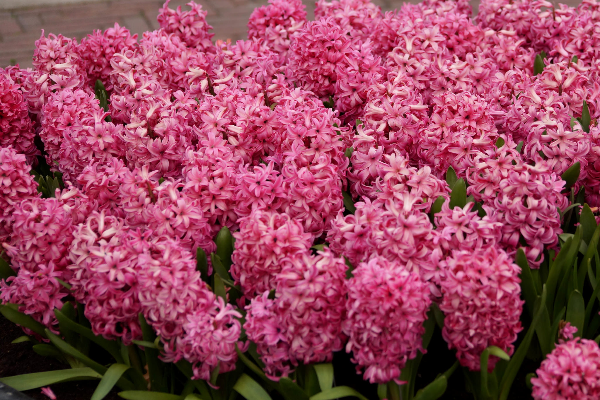 Hyacinthus orientalis – hiacynt wschodni