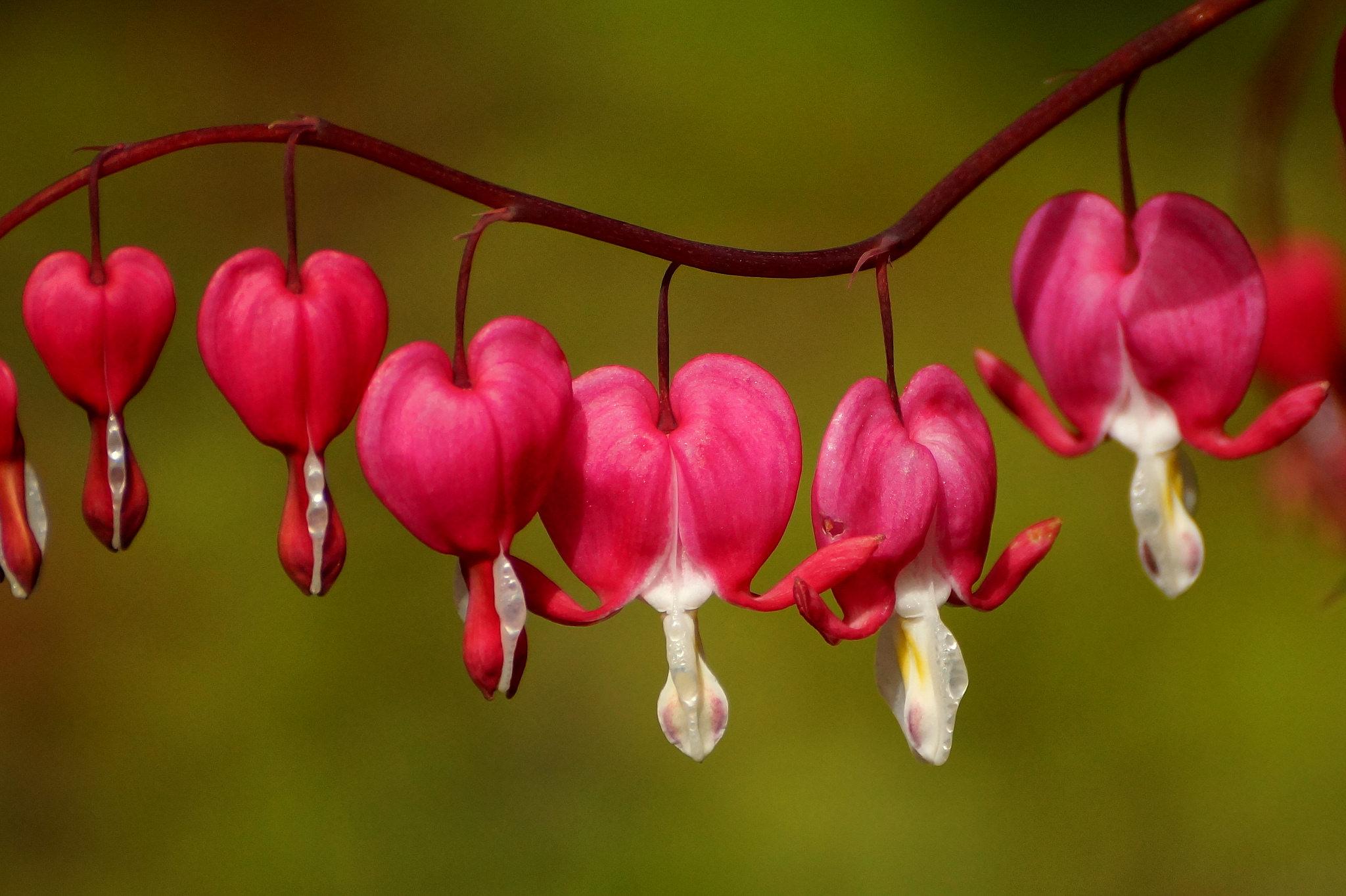 Dicentra spectabilis, Diclythra spectabilis – serduszka okazała, biskupie serce
