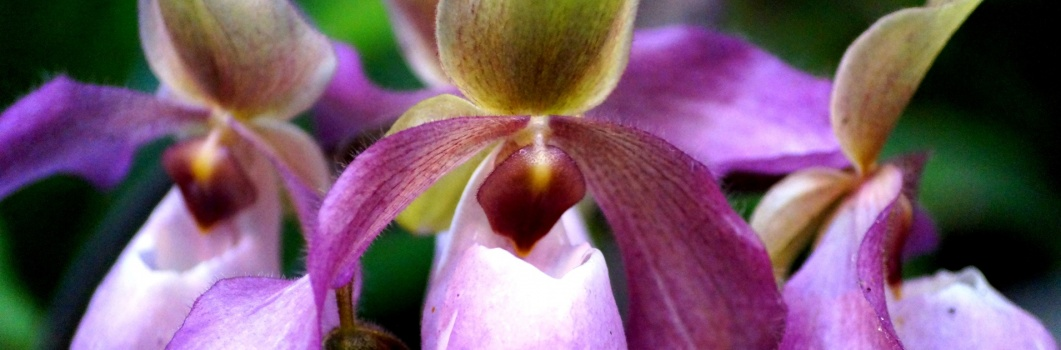 Storczyki – Orchis