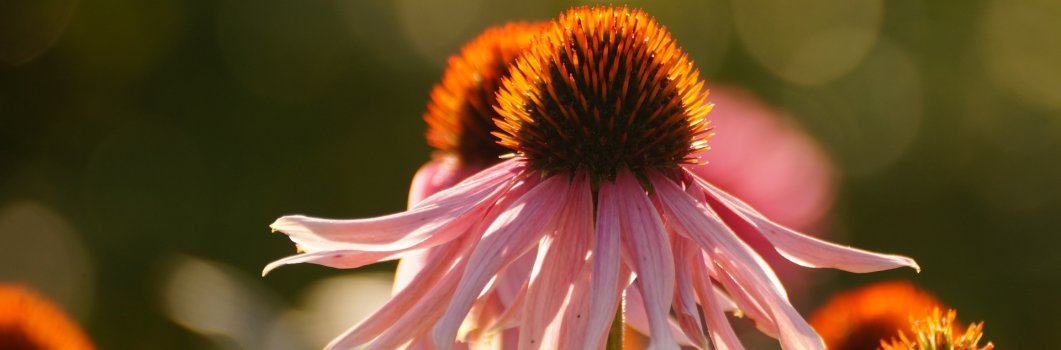 Echinacea purpurea, Rudbeckia purpurea – jeżówka purpurowa