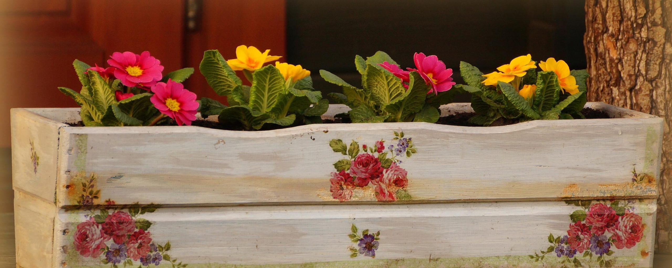 Primula vulgaris, Primula acaulis – pierwiosnek zwyczajny, pierwiosnek bezłodygowy