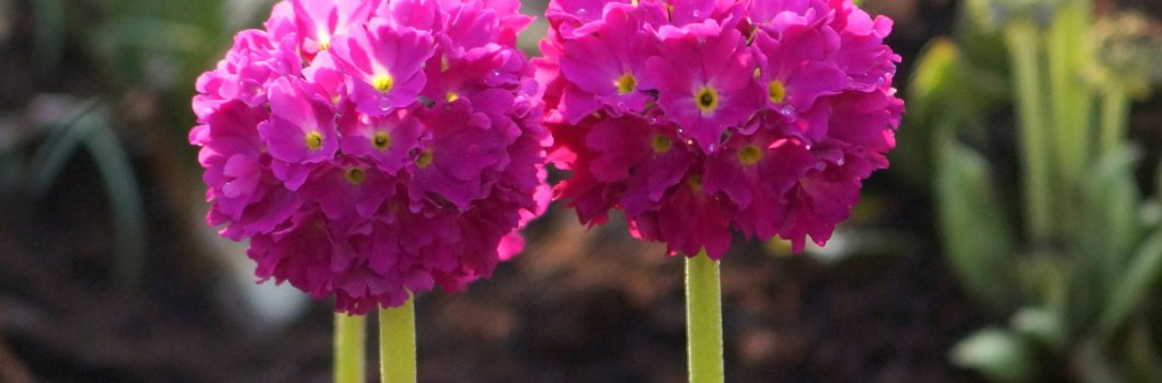 Primula denticulata – pierwiosnek ząbkowany