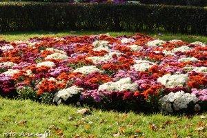 Złocienie - typowe rośliny na kwietniki jesienne, kwietniki dywanowe