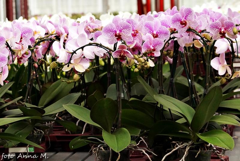 Phalaenopsis ma wzrost monopodialny