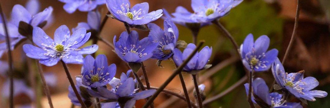 Hepatica nobilis, Hepatica triloba, Anemone hepatica – przylaszczka pospolita, trojanek trzyłatowy