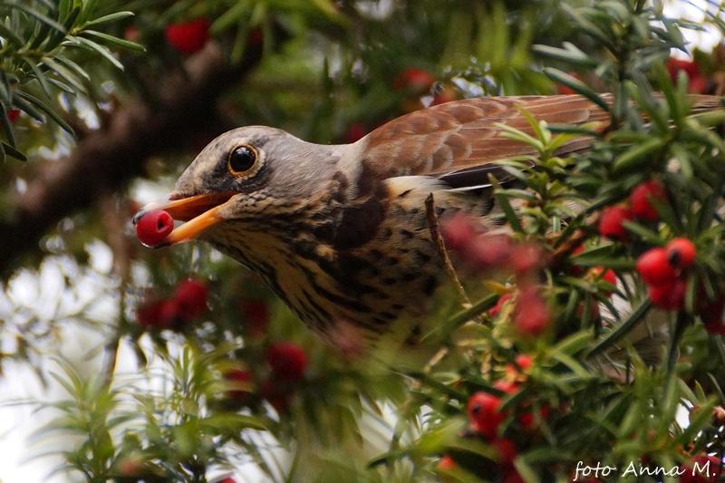 """""""Owoce"""" cisa są przysmakiem wielu gatunków ptaków. Kwiczoł jest jednym z nich."""