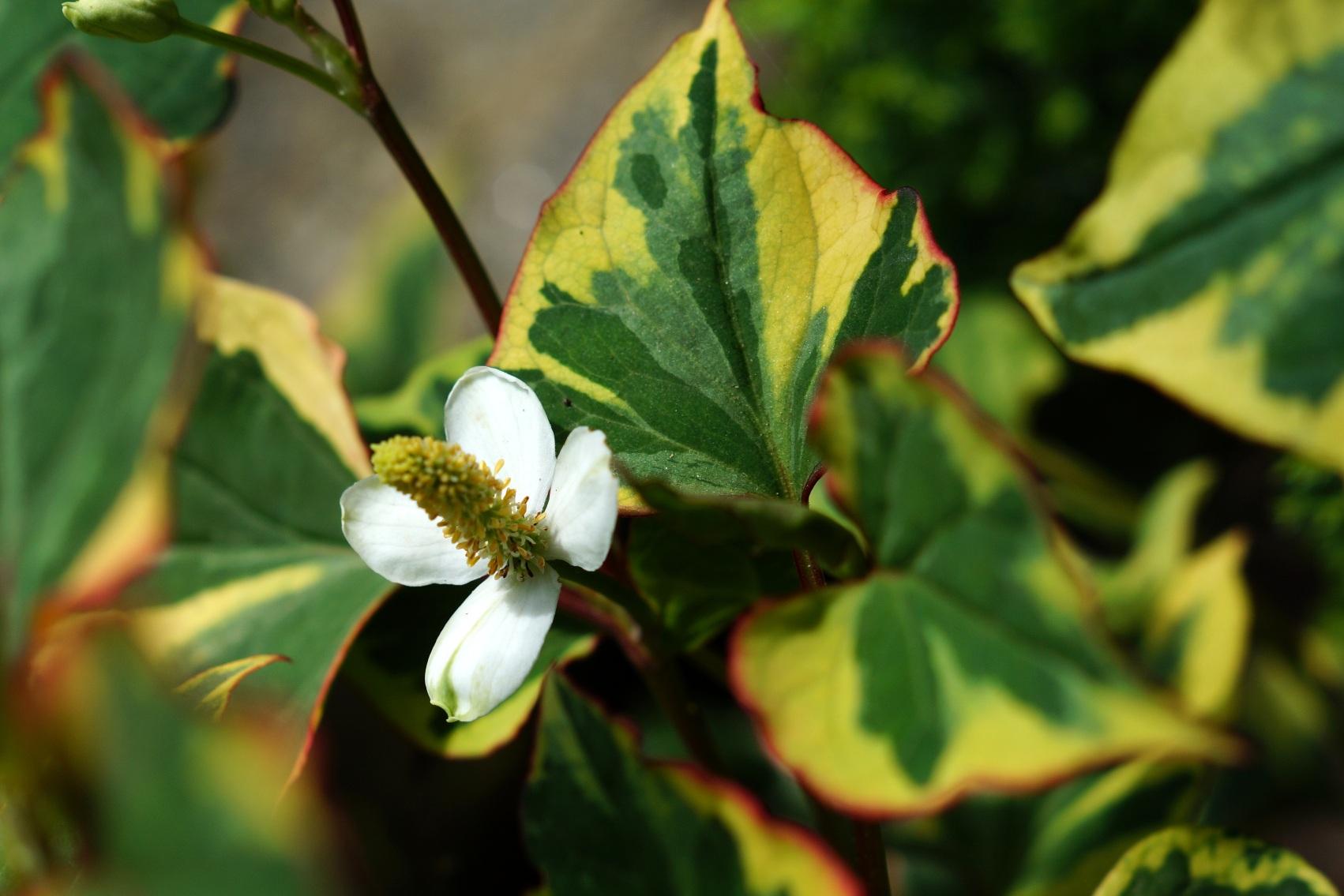 Houttuynia cordata – houtujnia sercowata