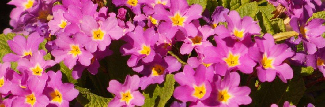 Primula juliae – pierwiosnek gruziński