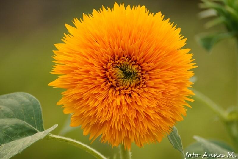 Helianthus annuus - słonecznik zwyczajny, odmiana pełna