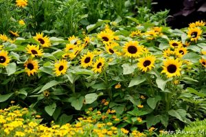 Słonecznik to najbardziej rozpoznawalny ozdobny gatunek jednoroczny