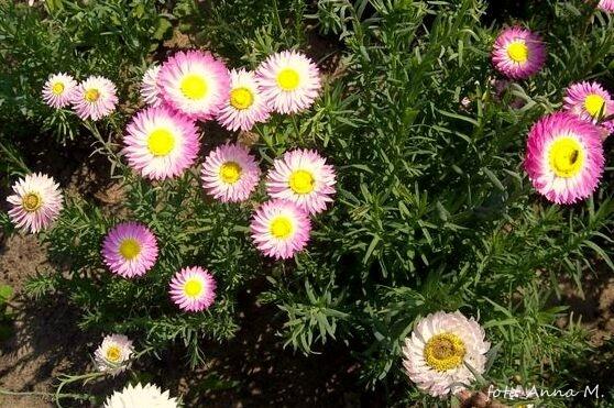 Helipterum roseum - suchlin różowy, suchołuska