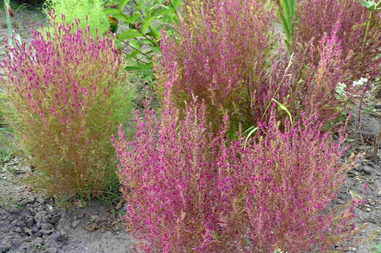 Kochia scoparia (Bassia scoparia) – mietelnik żakula, cyprys letni