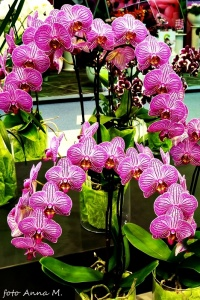 Phalaenopsis - falenopsis mieszańcowy
