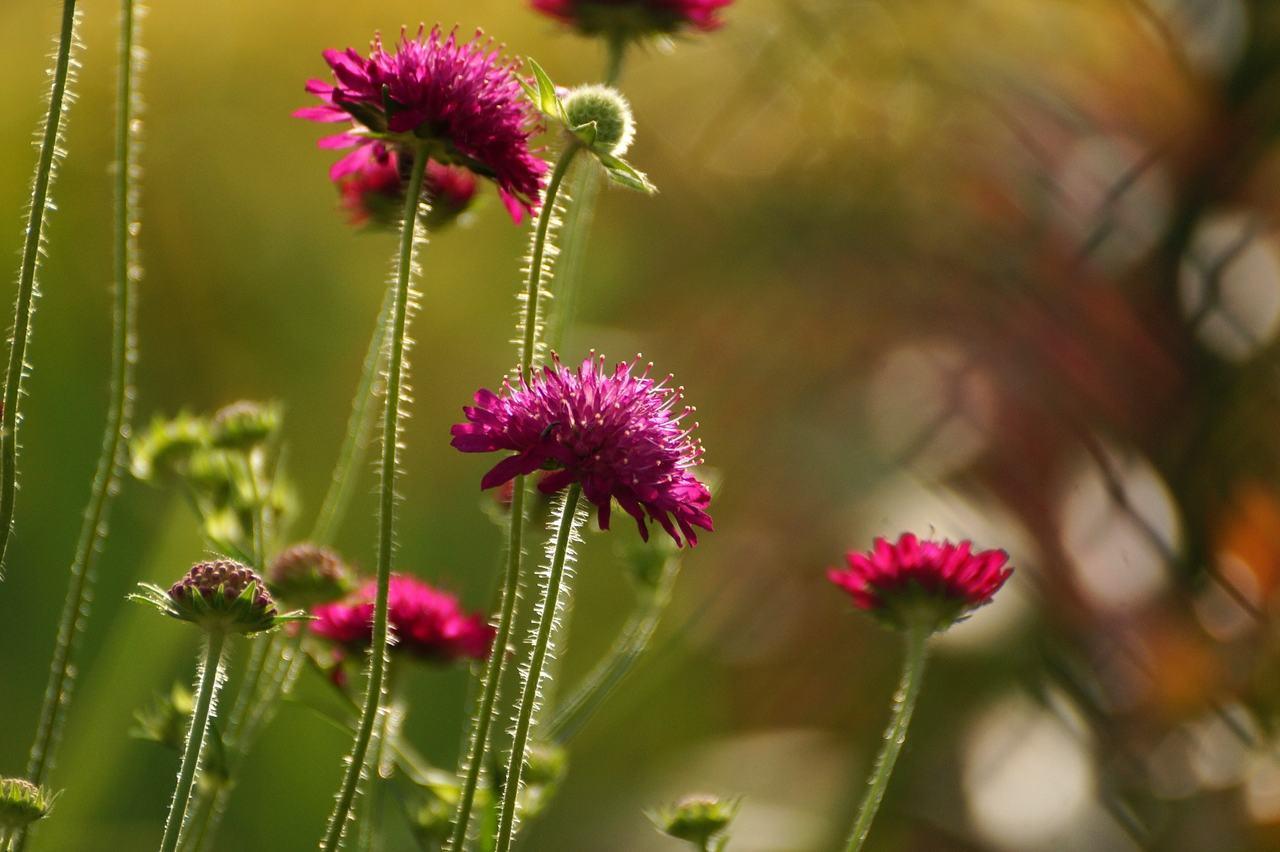 Scabiosa atropurpurea – driakiew purpurowa