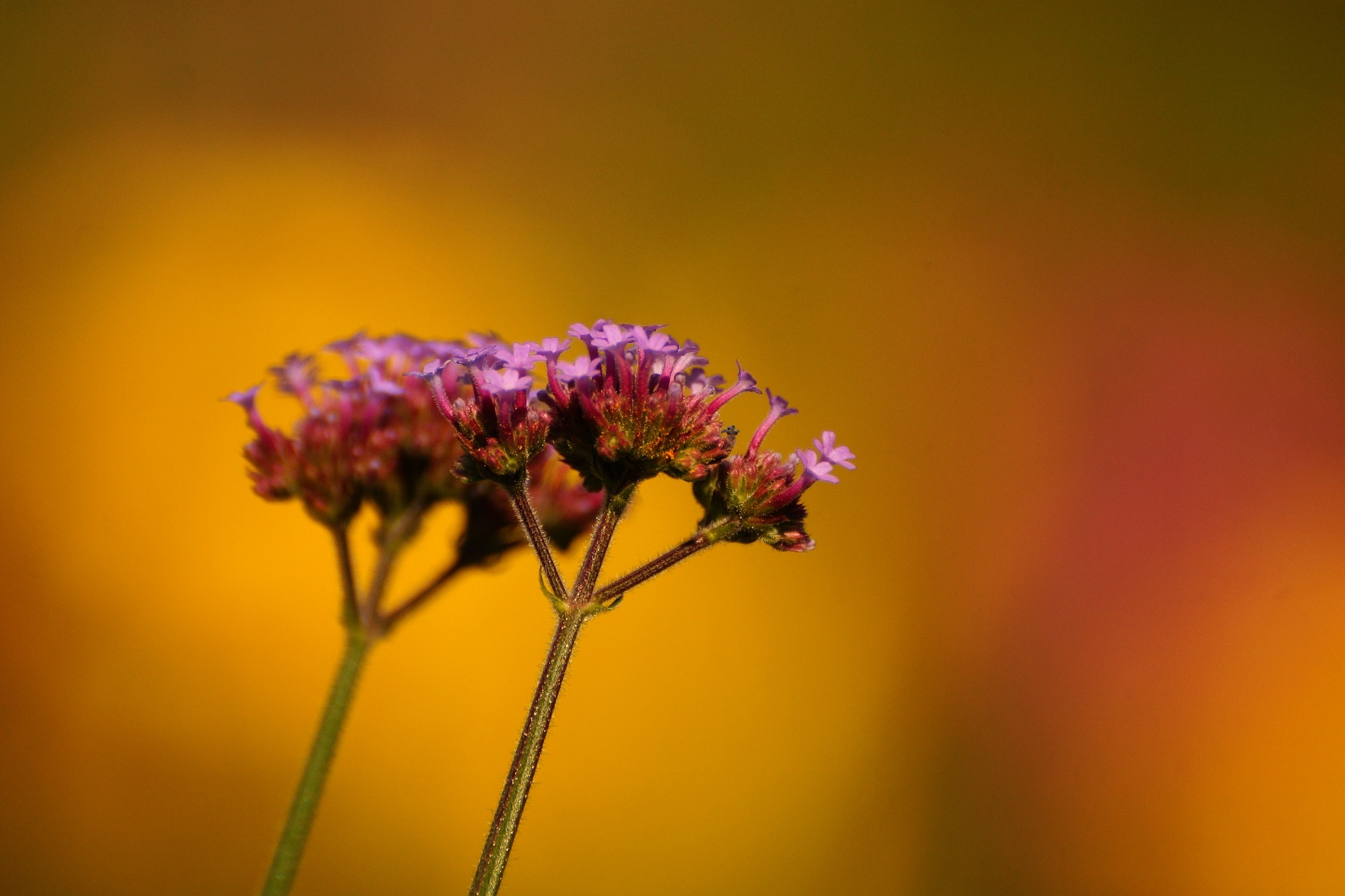 Verbena bonariensis – werbena patagońska, werbena argentyńska