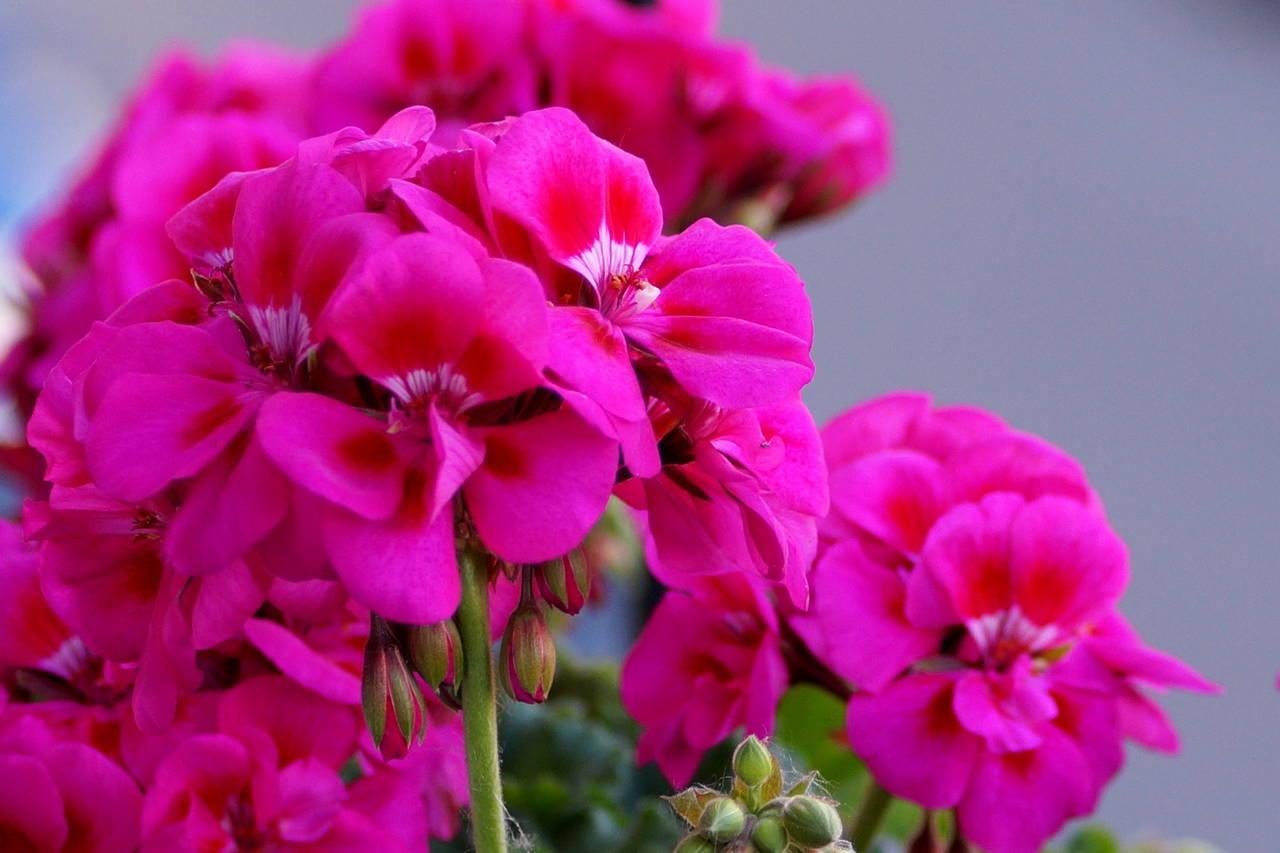 Pelargonium zonale – pelargonia rabatowa