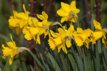 Narcissus x hybridus – narcyz ogrodowy