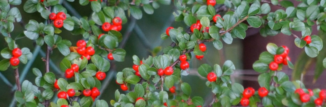 Cotoneaster divaricata – irga rozkrzewiona