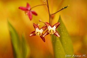 Epimedium grandiflorum - epimedium wielkokwiatowe