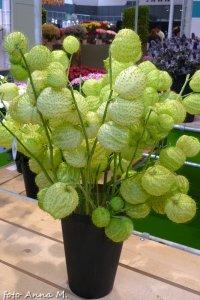 Gomphocarpus fruticosus – charg krzaczasty