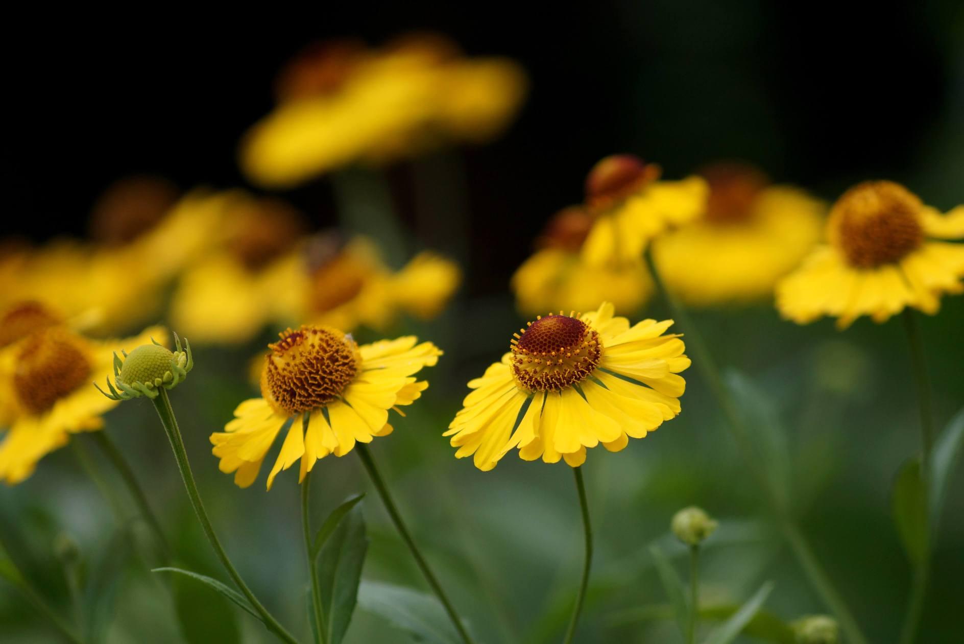 Helenium x hybridum – dzielżan ogrodowy