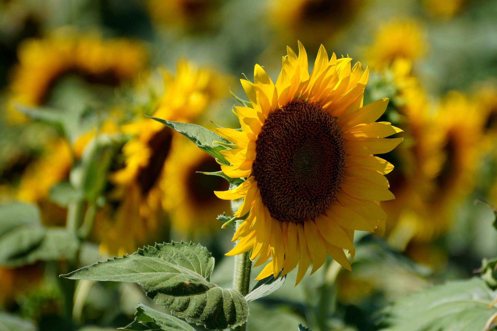 Helianthus annuus – słonecznik zwyczajny