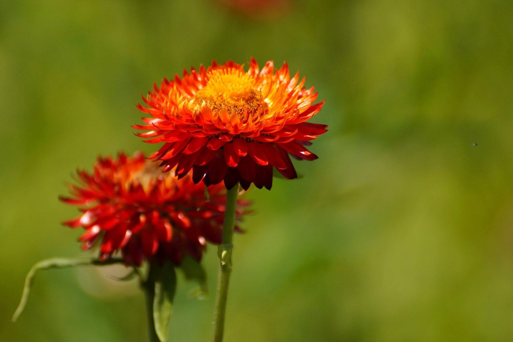 Helichrysum bracteatum – kocanki ogrodowe, nieśmiertelnik