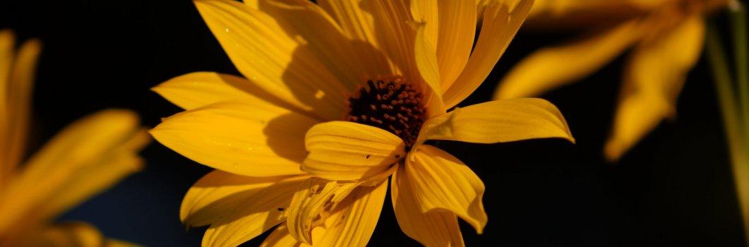 Heliopsis helianthoides var.scabra, Heliopsis scabra – słoneczniczek szorstki