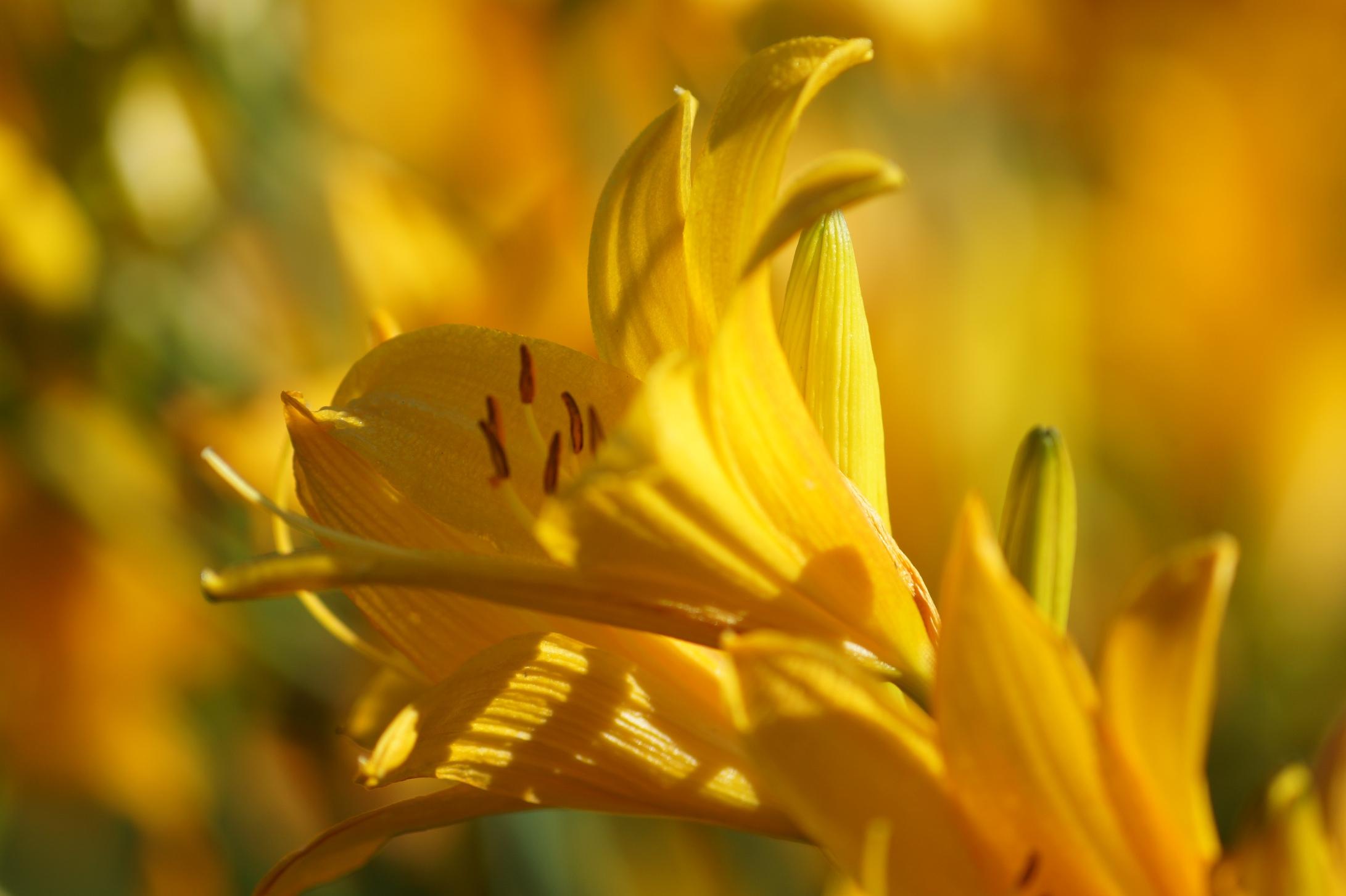 Hemerocallis x hybrida – liliowiec ogrodowy, żółta lilia