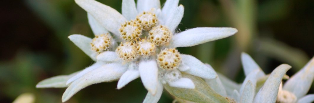 Leontopodium alpinum – szarotka alpejska
